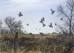 Covey of quail
