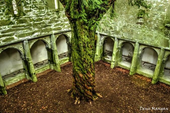 muckross-abbey-yew-tree