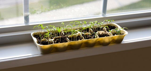 Egg carton bean plants