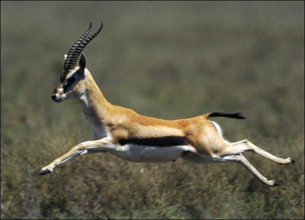 Stable Days: Leaping Beauties --- Gazelles